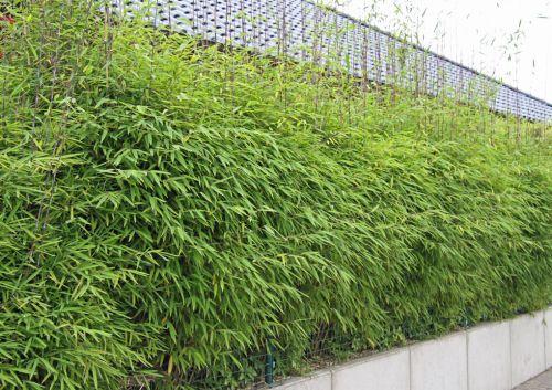 Bambus Als Sichtschutz Fein On Andere Innerhalb Pflanzenshop Bambushecken Ohne Ausläufer Nicht 1