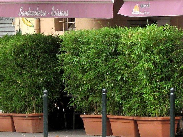 Bambus Als Sichtschutz Nett On Andere Und Im Kübel Kaufen Bambushecken De 4