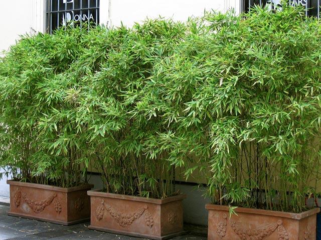 Bambus Als Sichtschutz Wunderbar On Andere In Bezug Auf Im Kübel Kaufen Bambushecken De 6